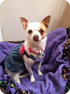 Chihuahua Mix Dog for adoption in Las Vegas, Nevada - Freesia