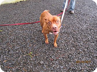 American Pit Bull Terrier Dog for adoption in Tillamook, Oregon - Bubbles