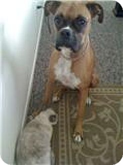 Boxer Dog for adoption in Houston, Texas - PEPE