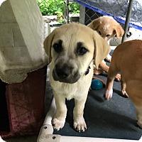 Adopt A Pet :: Cheddar - Hohenwald, TN