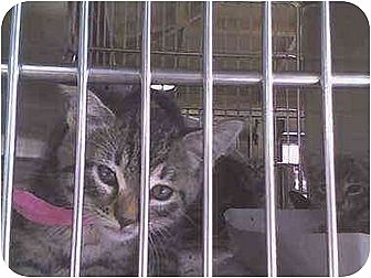 Domestic Shorthair Kitten for adoption in Harbor City, California - kittens kittens