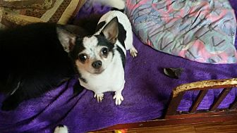 Chihuahua Dog for adoption in Crump, Tennessee - Tyler