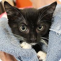 Adopt A Pet :: Archibald - Sarasota, FL