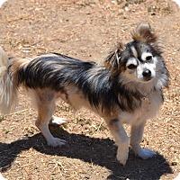 Adopt A Pet :: Hawk - Simi Valley, CA