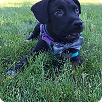 Adopt A Pet :: Augie - Tumwater, WA