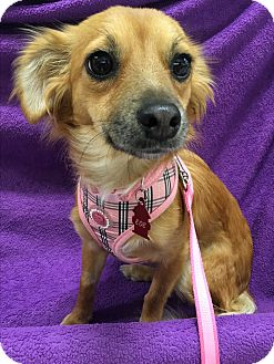 Spaniel (Unknown Type)/Terrier (Unknown Type, Small) Mix Dog for adoption in Tracy, California - Brandy