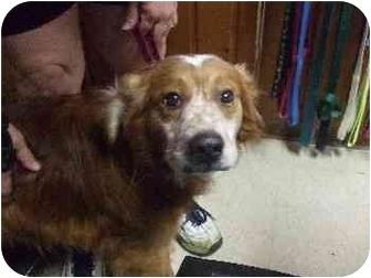 Golden Retriever/Spaniel (Unknown Type) Mix Dog for adoption in Mason City, Iowa - Rusty