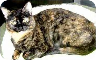 Domestic Shorthair Cat for adoption in San Diego, California - Cindy