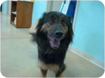 Border Collie/Gordon Setter Mix Dog for adoption in Nichols Hills, Oklahoma - Polly