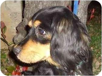 Cocker Spaniel/Spaniel (Unknown Type) Mix Dog for adoption in Arlington, Texas - Scout