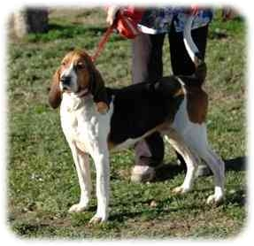 Coonhound Mix Dog for adoption in Blackstone, Virginia - BoJo