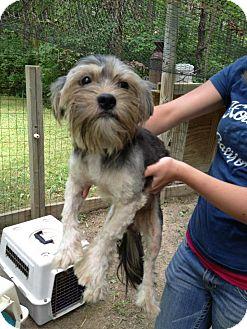 Yorkie, Yorkshire Terrier/Maltese Mix Puppy for adoption in Hamburg, New York - Sawyer