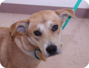 Labrador Retriever Mix Dog for adoption in Lebanon, Maine - Reba-URGENT in GA