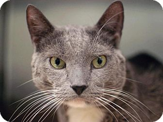 Russian Blue Cat for adoption in Brooklyn, New York - Martin