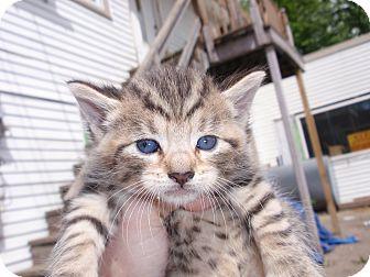 Domestic Shorthair Kitten for adoption in East Brunswick, New Jersey - Tigger