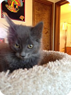 Russian Blue Kitten for adoption in Fountain Hills, Arizona - WINDSOR
