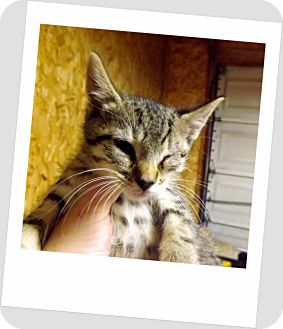 Domestic Shorthair Kitten for adoption in Owosso, Michigan - Bucky