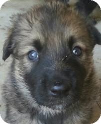 German Shepherd Dog/Siberian Husky Mix Puppy for adoption in Apple valley, California - Baby boy