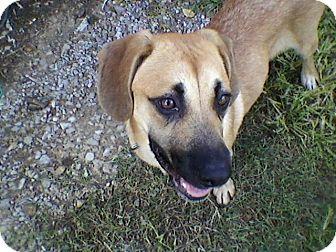 Shepherd (Unknown Type)/Labrador Retriever Mix Puppy for adoption in Hamburg, Pennsylvania - Sadie