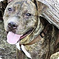 Adopt A Pet :: Samson - Gilbert, AZ