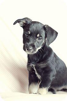 Terrier (Unknown Type, Small)/Schnauzer (Standard) Mix Puppy for adoption in Marietta, Georgia - Lani