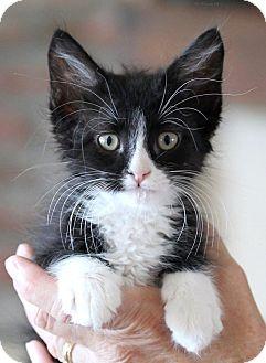 Domestic Shorthair Kitten for adoption in Rocklin, California - Kapow