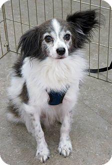 Papillon Mix Dog for adoption in Studio City, California - Bellini