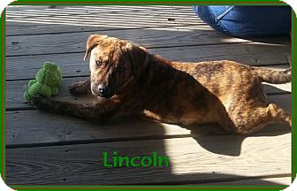 Mountain Cur Puppy for adoption in Lincoln, Nebraska - LINCOLN