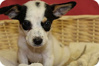 Chihuahua/Jack Russell Terrier Mix Puppy for adoption in Waldorf, Maryland - Cory