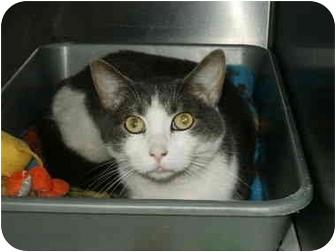 Domestic Shorthair Cat for adoption in Mason City, Iowa - Tucker