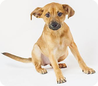 Miniature Pinscher/Dachshund Mix Puppy for adoption in Yelm, Washington - Lacey