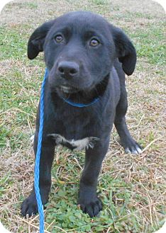 Labrador Retriever/German Shepherd Dog Mix Puppy for adoption in Allentown, New Jersey - Dot