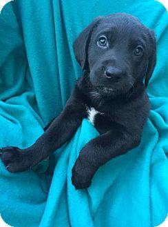 Basset Hound/Golden Retriever Mix Dog for adoption in Brookeville, Maryland - Graham