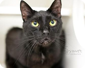 Domestic Shorthair Cat for adoption in Reisterstown, Maryland - Fred