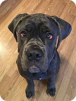 Cane Corso Mix Dog for adoption in Blue Bell, Pennsylvania - Diesel