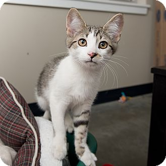Domestic Shorthair Kitten for adoption in Wilmington, Delaware - Cornbread