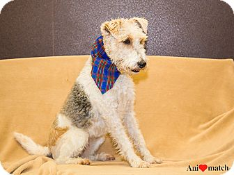 Fox Terrier (Wirehaired) Mix Dog for adoption in Ile-Perrot, Quebec - Tilly