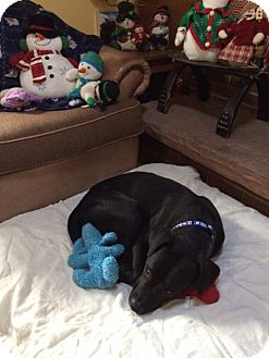 Labrador Retriever Mix Dog for adoption in Evergreen, Colorado - Francois