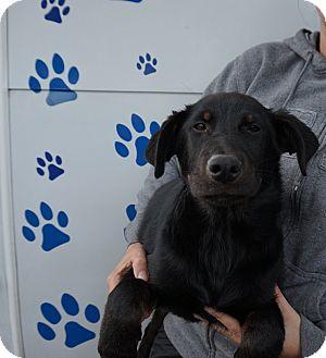 Newfoundland/Labrador Retriever Mix Puppy for adoption in Oviedo, Florida - King