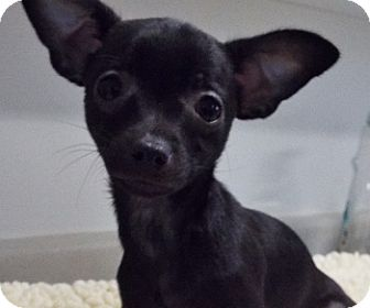 Chihuahua Mix Puppy for adoption in Grants Pass, Oregon - Tink