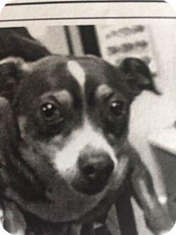 Chihuahua Mix Dog for adoption in Warner Robins, Georgia - Rascal
