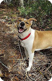 Carolina Dog Mix Dog for adoption in North Charleston, South Carolina - Willow