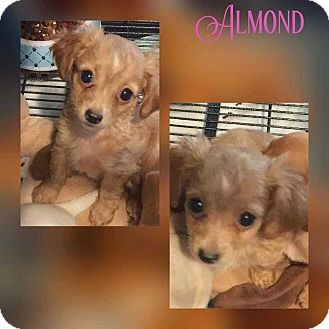 Terrier (Unknown Type, Small) Mix Puppy for adoption in Mesa, Arizona - ALMOND