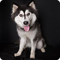 Adopt A Pet :: Kodiak - Van Nuys, CA