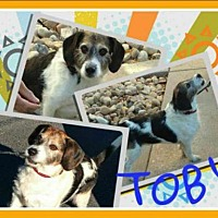 Adopt A Pet :: Tobey3 - Fort Collins, CO