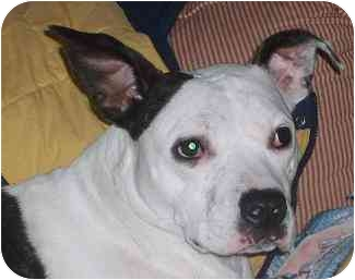 American Pit Bull Terrier/Boxer Mix Dog for adoption in little rock, Arkansas - Roxie
