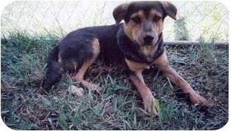 Labrador Retriever/Carolina Dog Mix Puppy for adoption in Coral Springs, Florida - Jeff