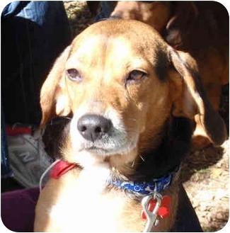 Beagle Dog for adoption in Indianapolis, Indiana - Ike