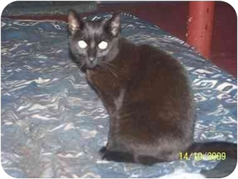 Domestic Shorthair Cat for adoption in Honesdale, Pennsylvania - Panther