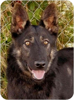German Shepherd Dog Mix Puppy for adoption in Los Angeles, California - Becka von Badensee